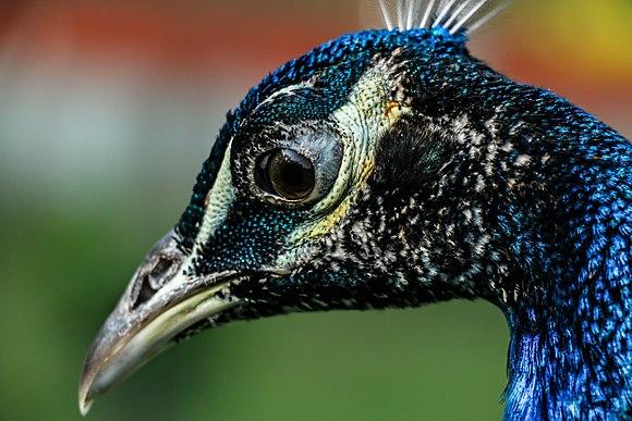 Peacock Portrait.jpg