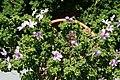 Pelargonium crispum 3zz.jpg