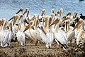 Pelicans standing Rietvlei Nature Reserve.jpg