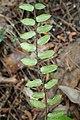 Pellaea rotundifolia kz11.jpg