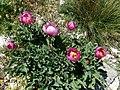 Peonía o Rosa alabardera (Peonia broteroi) (3814459852).jpg