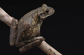 Black-spotted casque-headed tree frog - Image: Perereca grudenta Trachycephalus nigromaculatus