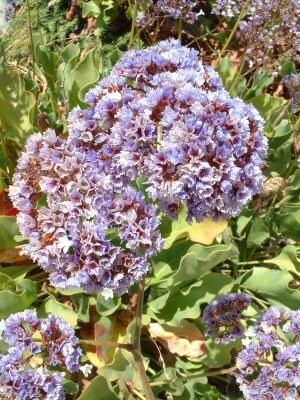 Limonium - Limonium perezii from the Canary Islands is naturalised in California