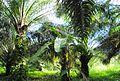 Perkebunan kelapa sawit milik rakyat (46).JPG
