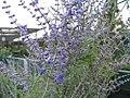 Perovskia atriplicifolia 3zz.jpg