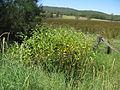 Persicaria orientalis plant4 NC (17006030130).jpg