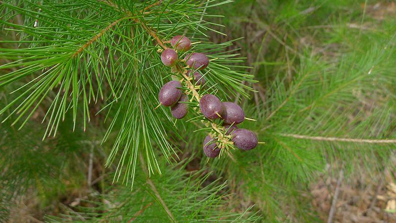 File:Persoonia pinifolia fruit (6087202920).jpg