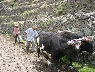 Peruvian farmers sowing maize and beans Peruvianterracefarmers.jpg