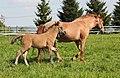 Pferd mit Fohlen im Erzgebirge, Sachsen IMG 3699WI.jpg