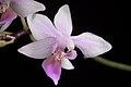 Phalaenopsis equestris (Mindanao, Philippines) (Schauer) Rchb.f., Linnaea 22- 864 (1850) (35301332732).jpg