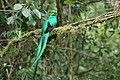 Pharomachrus mocinno Monteverde 03.jpg
