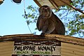 Philippine long tailed macaque (9105924732).jpg
