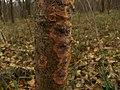 Phlebia radiata 33801681.jpg