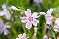 Phlox subulata Candy Stripe 3zz.jpg