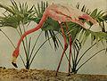 Phoenicopterus ruber 1905.jpg