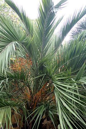 Phoenix loureiroi kz1.JPG