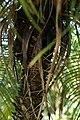 Phoenix roebelenii 30zz.jpg
