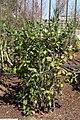 Photinia melanocarpa Elata 3zz.jpg