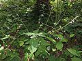 Phryma leptostachya var. asiatica 11.JPG