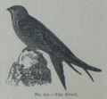 Picture Natural History - No 121 - The Swift.png