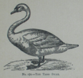 Picture Natural History - No 172 - The Tame Swan.png