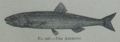 Picture Natural History - No 206 - The Anchovy.png