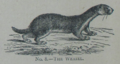 Picture Natural History - No 8 - The Weasel.png
