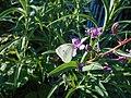 Pieris brassicae, Yakutia, Russia, July 2020 (1).jpg
