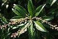 Pieris japonica Dorothy Wycoff 5zz.jpg
