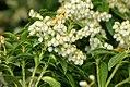 Pieris japonica Sarabande 0zz.jpg