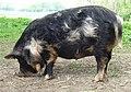Pig - geograph.org.uk - 170450.jpg