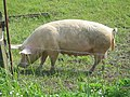 Pig alongside the old railway track near Cloughton - geograph.org.uk - 728565.jpg