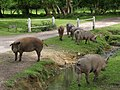 Pigs on Harley Lane, Bramshaw, New Forest - geograph.org.uk - 440636.jpg