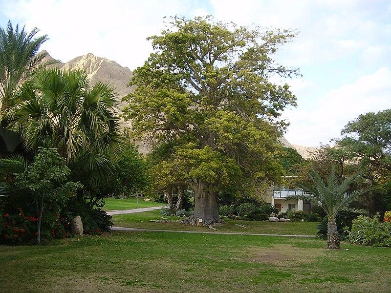 עץ באובב בגן הבוטני בעין גדי
