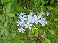 PikiWiki Israel 21319 Plumbago capensis.JPG