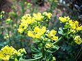 PikiWiki Israel 30946 Ruta graveolens Blossoms.jpg