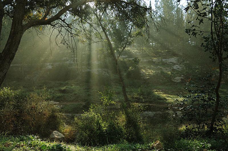 קרני בוקר ביער