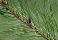 Pine wilt nematode.jpg