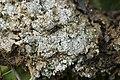 Pink Earth Lichen - Dibaeis baeomyces (44470650301).jpg
