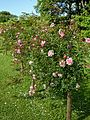 Pink rose trellis at Boreham, Essex, England 1.jpg
