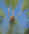 Pinus-pinea-conos-2.jpg