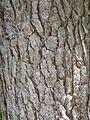 Pinus glabra Bark.jpg