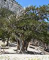 Pinus longaeva 18.jpg