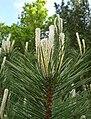 Pinus nigra buds Bulgaria.jpg