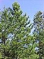 Pinus resinosa 3-eheep (5097509783).jpg