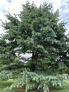 <i>Pinus strobiformis</i> Species of conifer