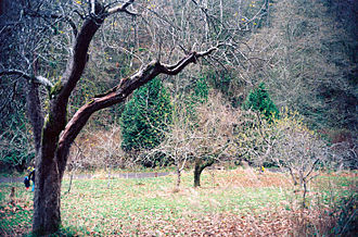A. W. Piper - Trees over a century old still produce fruit in the restored Piper Orchard in Carkeek Park.