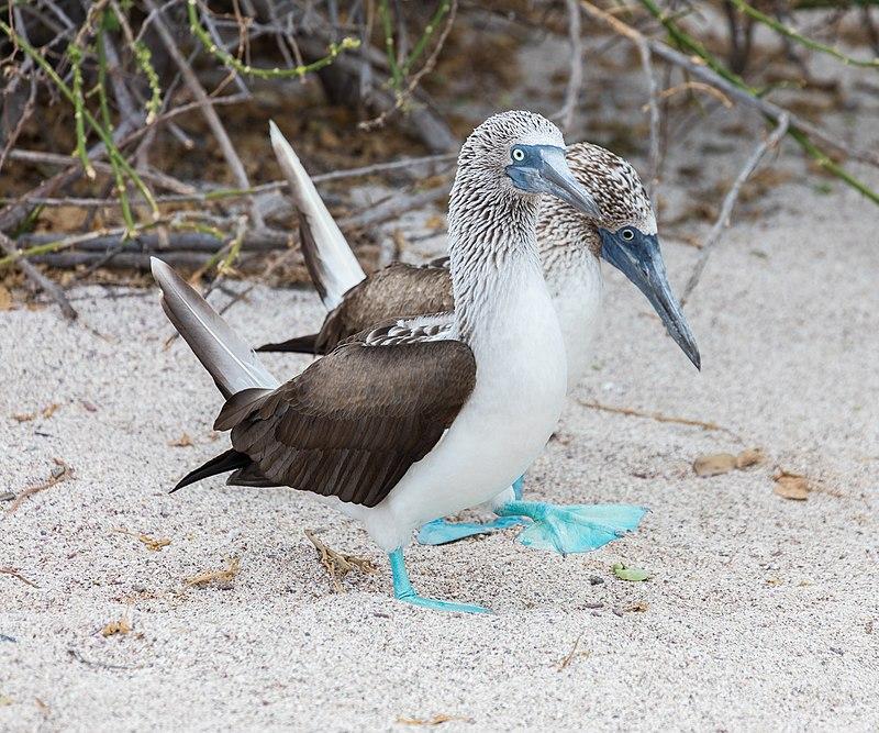 Piquero patiazul (Sula nebouxii), isla Lobos, islas Galápagos, Ecuador, 2015-07-25, DD 34.JPG