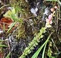 Pitcairnia heterophylla 0zz.jpg