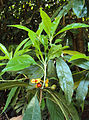 Pittosporum dasycaulon.jpg